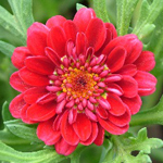 Argyranthemum Elite Grape