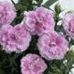 Dianthus Elite Candy Cream