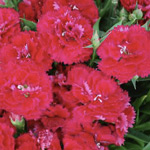 Dianthus Elite Cherry