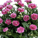 Dianthus Elite Raspberry Cream