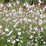 Gaura Elite White