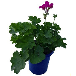 Geranium Big Rose