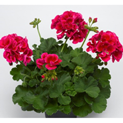 Geranium Big Splash