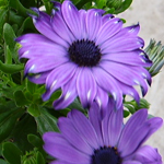 Osteospermum Elite Blue