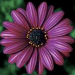 Osteospermum Elite Dark Purple