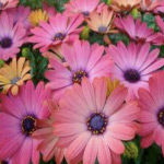 Osteospermum Elite Magic