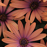 Osteospermum Elite Orange