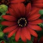 Osteospermum Elite Ruby