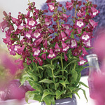 Penstemon Elite Purple