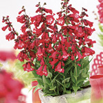 Penstemon Elite Red