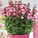 Penstemon Elite Rose