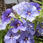 Phlox Elite Blueberry