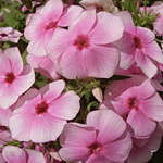 Phlox Elite Pinkberry