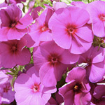 Phlox Elite Purpleberry