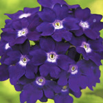 Verbena Elite Royal Blue