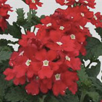 Verbena Elite Venetian Red